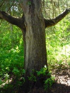 04Me Big cedar TreeWP