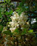 Orchid like blooms on a tree that blooms after all else has finshed. The locust tree is different.
