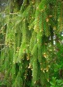 Pendulant spruce