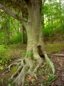 My favourite tree on the trail is this Carolinian Beech which shows as much of its' stability in the roots system as it does power and strength in the branches.