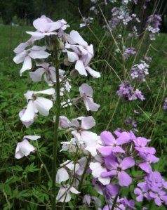 Dame's Rocket is such a pretty wildflower when in bloom that many gardeners cultivate this wildflower.