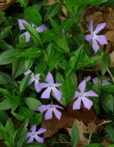 The periwinkle always looks to be missing petals.