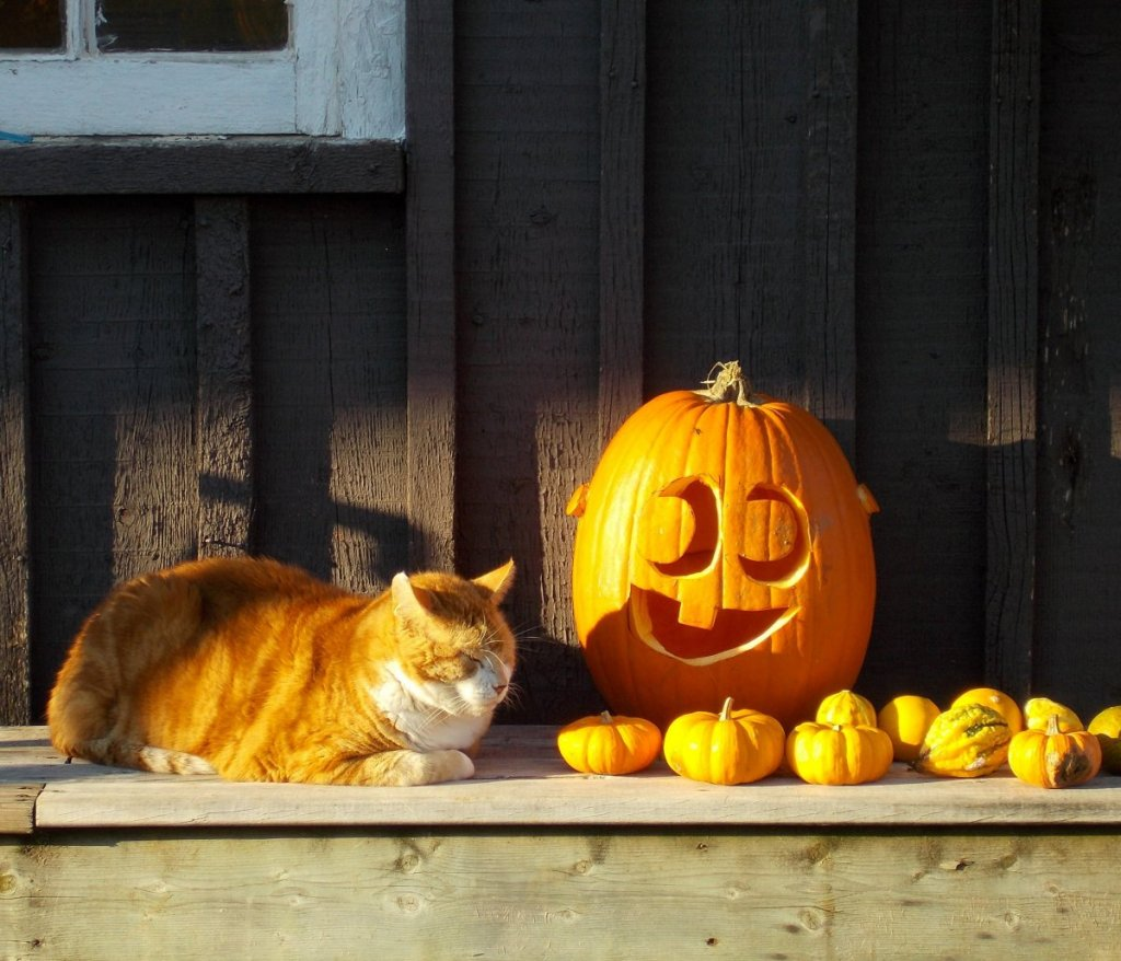 Old fatcat, my favorite feline subject at the zoo, appears not too concerned with the presence of big scary pumpkin and his minions.