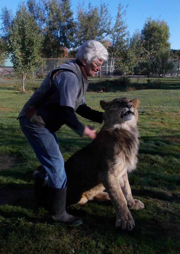 Sterk the Lion being introduced to his new home at Oaklawn Farm Zoo