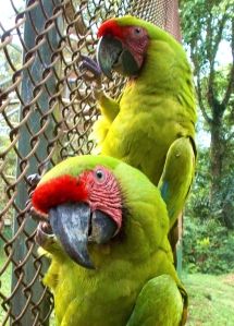 Rehabed birds at AYA Macaw conservation farm.